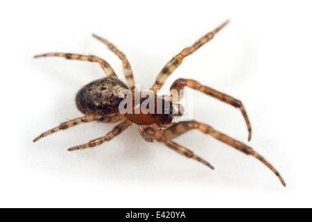 Female Tree sector spider (Stroemiellus stroemi), part of the family Araneidae - Orbweavers. Isolated on white background. - Stock Image