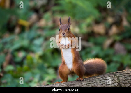 Red Squirrel  (Sciurus vulgaris) standing on back legs in the forest face on - Stock Image