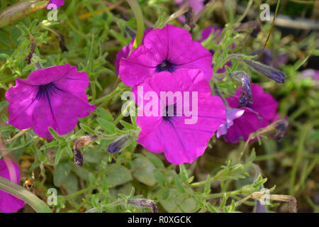 Colourful flower border with a close up of Petunia 'Purple Wave' - Stock Image