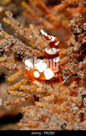 Sexy Shrimp, Thor amboinensis. Tulamben, Bali, Indonesia. Bali Sea, Indian Ocean - Stock Image