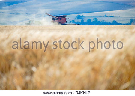 Summer field barley crop harvest with combine harvester on farm - Stock Image