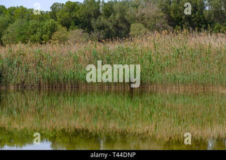 Reflection of Wild plants and shrubs at Al Wathba Wetland Reserve  Abu Dhabi, UAE - Stock Image