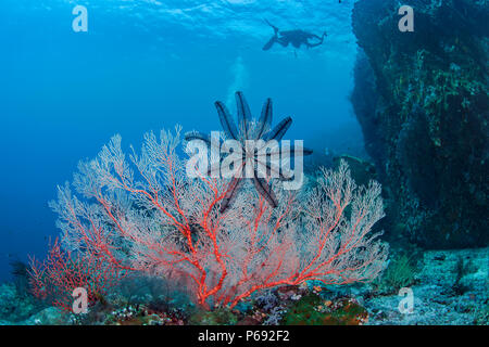 Seascape of bright orange seafan with scuba diver photographing a towering wall reef  blue water background. Raja Ampat, Indonesia. - Stock Image