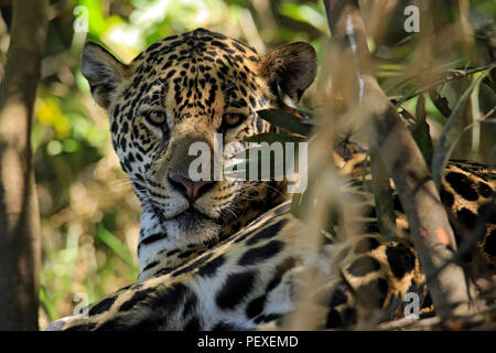 Portrait of a Jaguar (Panthera onca) Lying on the Ground, Looking into the Camera. Pantanal, Brazil - Stock Image
