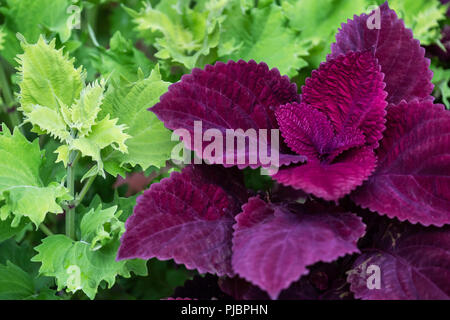 Coleus redhead closeup in a flower bed. Oklahoma, USA. - Stock Image
