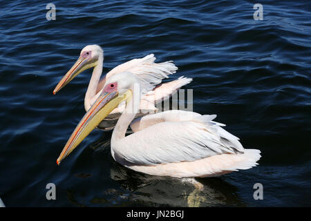 Great White Pelicans (Pelecanus onocrotalus) coming over, hoping to get fed with fish. They are washed with pink and yellow in breeding season. - Stock Image