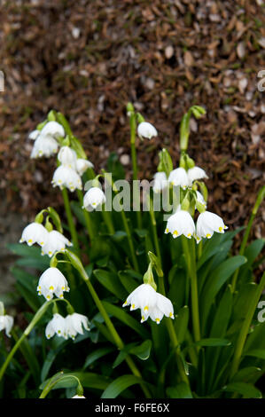 close up detailed image of clumps of Amaryllidaceae Leucojum vernum in a damp rockery garden - Stock Image