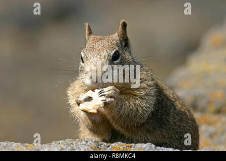 Close up of a common California ground squirrel eating some bread - Stock Image