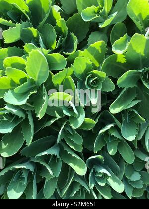 Green leaves with sunlight and shadow. - Stock Image
