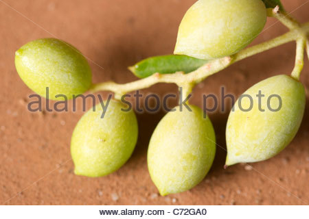 Young olives growing on an olive tree - Stock Image