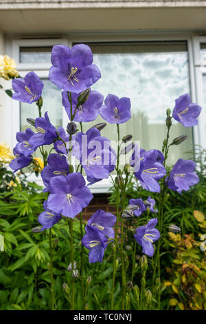 Campanula Medium Canterberry Bells, purple flowers in a front garden - Stock Image