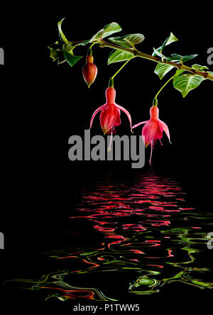 Branch of a fuchsia plant with two flowers appearing to hold hands reflected in water - Stock Image