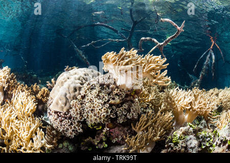 Leather Soft Corals growing in Mangroves, Sinularia, Lissenung, New Ireland, Papua New Guinea - Stock Image