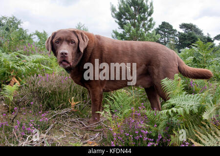 overweight chocolate labrador, Ludshott Common, Surrey - Stock Image