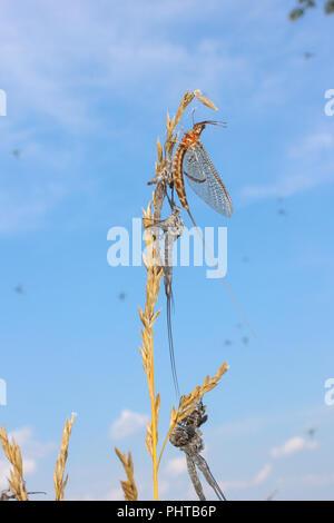 A mayfly hatch near Lake Eufaula, Alabama, USA. - Stock Image