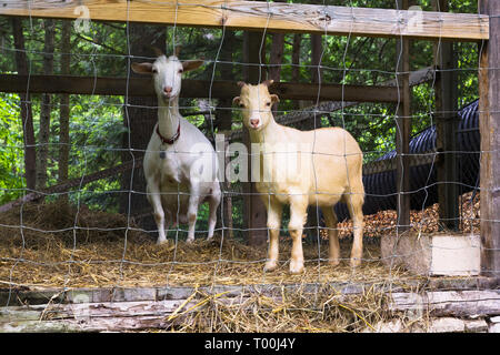 Domestic tan and white goats being kept in a pen in residential backyard in early summer - Stock Image