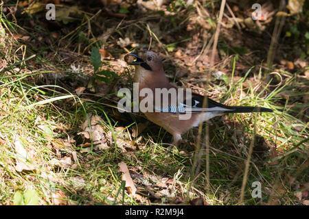 Eurasian Jay  (garrulus glandarius) in shadows collecting acorns - Stock Image