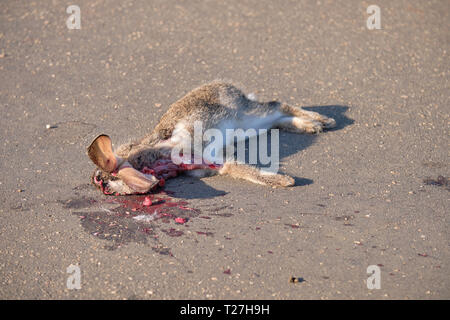 Hare roadkill on paved road.  Animal was hit at head level, but stll has ears sticking up - Stock Image