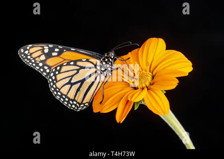 A monarch butterfly Danaus plexippus feeding on a tithonia flower - side view on a black background - Stock Image