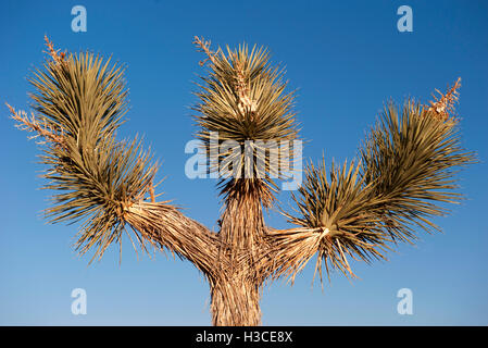 Joshua tree (Yucca brevifolia) against blue sky - Stock Image