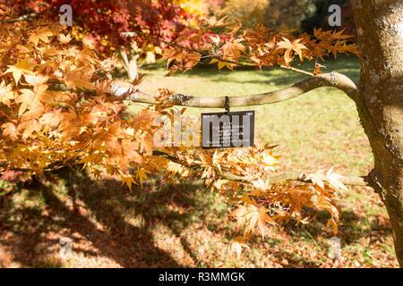 Tree species identification label, National arboretum, Westonbirt arboretum,  UK - Coral bark maple Japanese Maple, 'Sango kaku' - Stock Image
