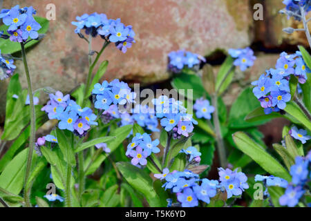 Forget Me Not flowers growing wild next to brick wall - Stock Image