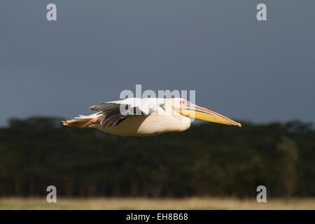 Great white pelican (Pelecanus onocrotalus) flying - Stock Image