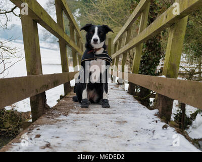 Derbyshire, UK, 3rd March. 2018. UK Weather: A short-haired Border Collie dog wearing a coat & snow boots to - Stock Image