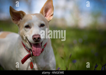 A portrait of a Jack Russell with its tongue hanging out - Stock Image