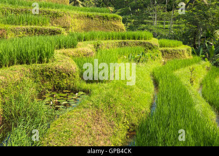 Famous attraction of Ubud - The Jatiluwih Rice Terraces in Bali, Indonesia - Stock Image