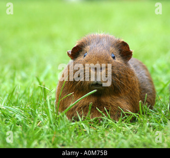 guinea pig in grass - Stock Image
