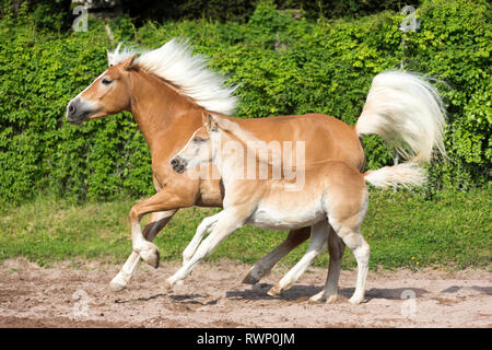 Haflinger Horse. Mare with foal galloping on a meadow. South Tyrol, Italy - Stock Image