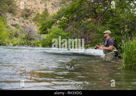 Dedicated fly fisherman works the banks of the river with a grassy shoreline on the Lower Deschutes while fly fishing for native redside rainbow trout - Stock Image