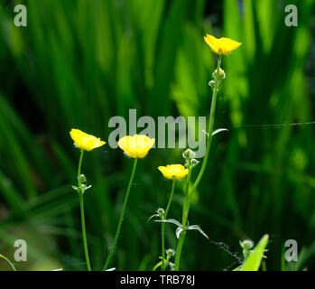 Yellow buttercup flowers - Stock Image