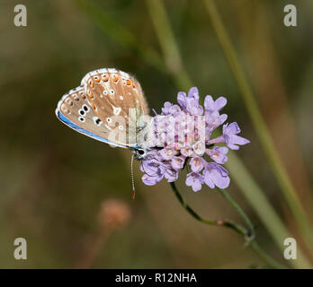 Adonis Blue male aberration obsoleta. Denbies Hillside, Ranmore Common, Surrey, England. - Stock Image