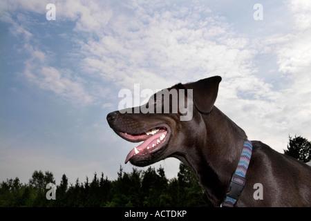 low angle shot of mixed breed dog panting - Stock Image