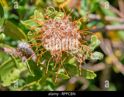 Close up of Yellow pincushion flower wilting and faded, of the protea family. - Stock Image
