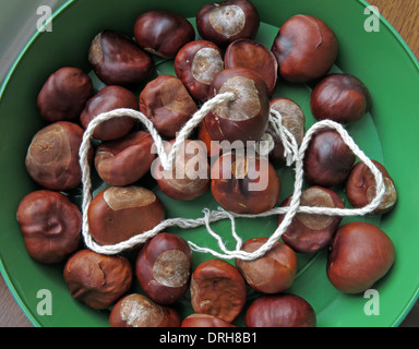 A green tray of conkers ready for a fight - Stock Image