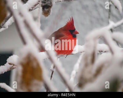Oak Park, Illinois, USA. 26th November 2018.  A male northern cardinal fluffs himself up against the cold after an overnight snowstorm in this suburb just west of Chicago. Credit: Todd Bannor/Alamy Live News - Stock Image