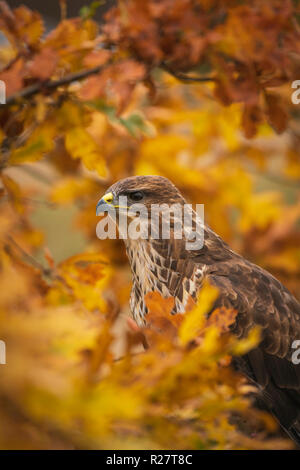 Common Buzzard, Buteo buteo,perched in autumnal oak tree, amongst orange and yellow collours - Stock Image