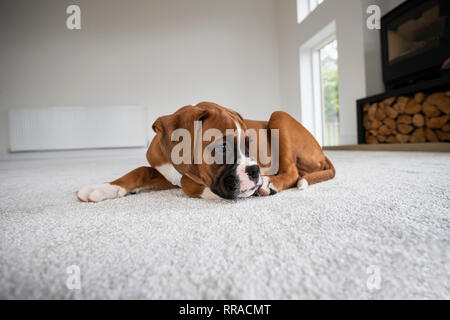 Ten week old boxer dog puppy lying on a white carpet at eye level - Stock Image