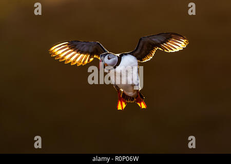 Atlantic Puffin (Fratercula arctica) in flight, backlit by golden evening  light, Skomer, Wales - Stock Image
