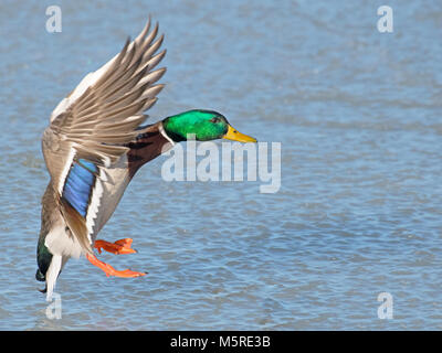 Male Mallard Duck in Flight - Stock Image