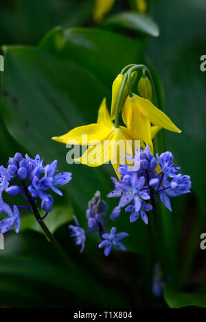 Siberian Squill,Scilla siberica,blue flowers,erythronium tuolumnense kondo,yellow,flower,flowers,dogs tooth violet,spring,flowering,bloom,RM Floral - Stock Image
