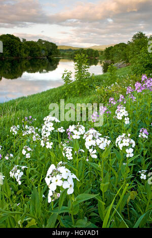 A farm on the banks of the Connecticut River in Newbury, Vermont.  Phlox. - Stock Image