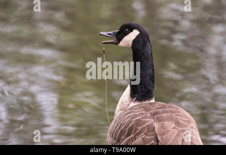 Canada goose Branta canadensis with fish hook and line in it's mouth - Stock Image