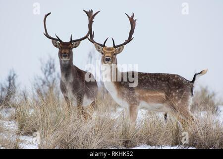 Fallow deer (Dama dama) in the snow, North Holland, Netherlands - Stock Image