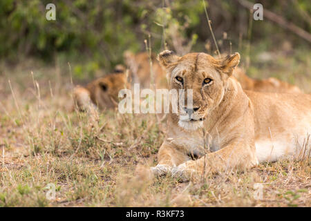 Lioness watches over while her cubs play in the background in Serengeti National Park, Tanzania - Stock Image
