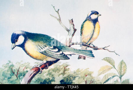 EDITORIAL ONLY  Male and female great tits, Parus major. From a contemporary print, c.1935. - Stock Image