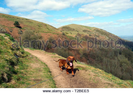 A happy dachshund walks a trail in the Malvern Hills during early spring,  in Worcestershire, UK. (dog is on an extendable lead) - Stock Image